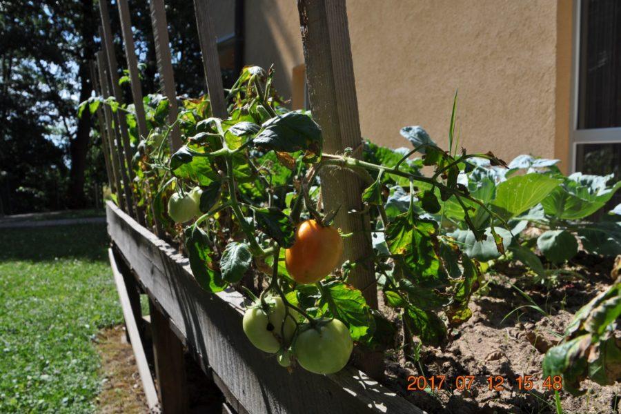 Povrće iz našeg vrta